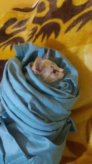 Domestic Animals Domestic Cat One Animal Pets