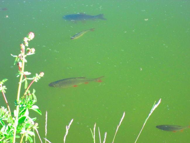 Estanque Goldfish In Water Pond Caña En El Agua Fish Goldfish Los Piscis Nature No People Pez De Colores Pool Reed In The Water Water