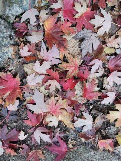 High angle view of autumnal leaves on plant