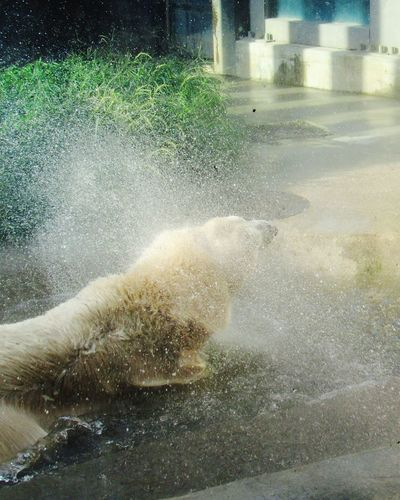 Beating the heat Polar Bear Polar Bear In Pool Beating The Heat Summer Zoo Captive Animals Ueno Zoo Japan Tokyo Refreshing :) Water Wet Drop Close-up