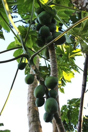 PawPaw Paradise Tropical Fruits Tropics Whereilive Nature EyeEm Nature Lover Green Leaves Farm Life Followme
