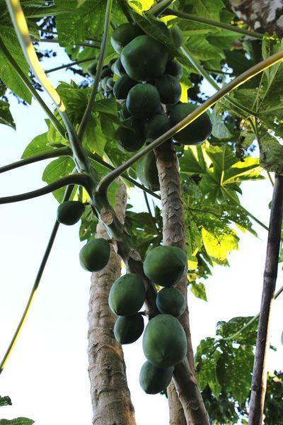 PawPaw Paradise Tropical Fruits Tropics Whereilive Nature EyeEm Nature Lover Green Leaves Farm Life Followme