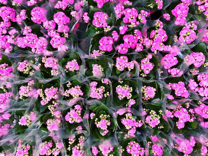 High angle view of pink flowering plant