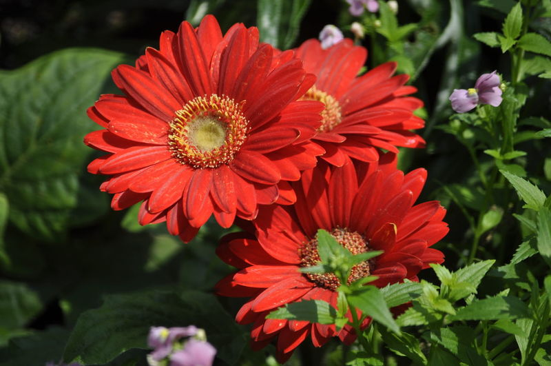 Close-up of red daisy flowers
