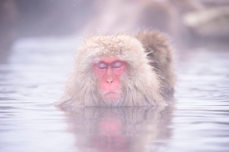 Japanese Macaque Water One Animal Animals In The Wild Animal Themes Monkey Waterfront Day Cold Temperature Focus On Foreground Outdoors Mammal Nature Hot Spring No People Winter Swimming Close-up