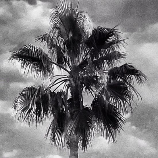 Palms palmtrees Tropical Paradise Blackandwhite