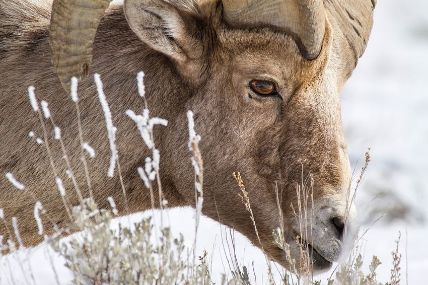 Big Horn Ram Portrait Nature Photography Nature Wildlife Wyoming Winter Big Horn Sheep Yellowstone National Park Nature_collection Jackson Hole Tetons