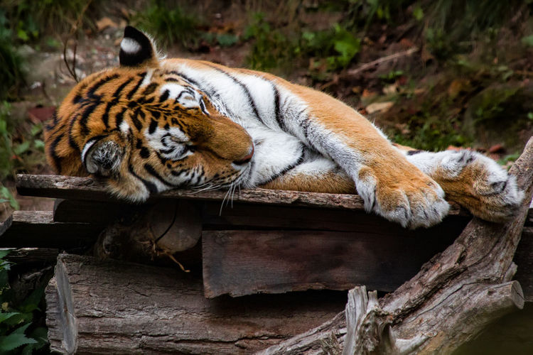 Cat relaxing on log in zoo