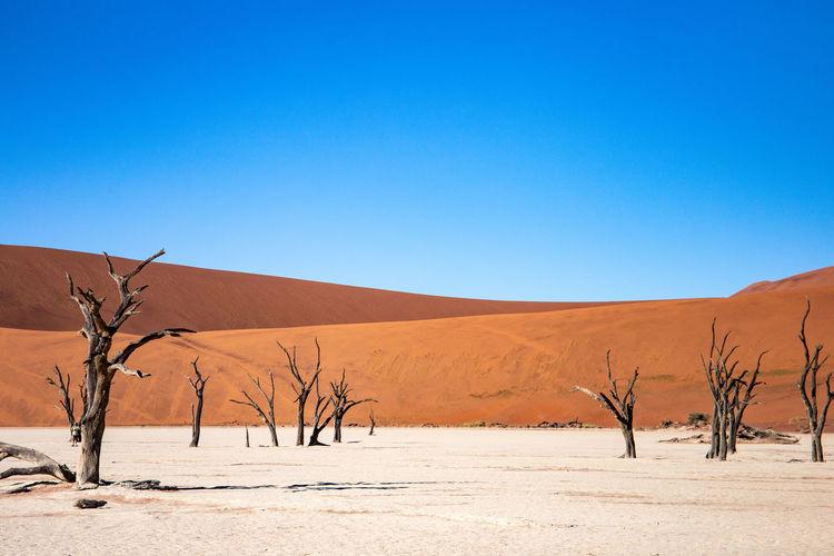 Dead trees in desert against clear blue sky