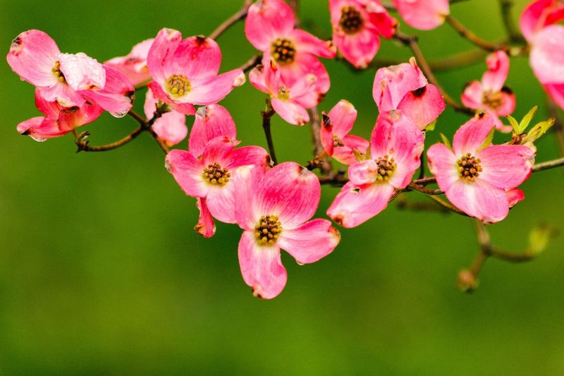 Cherry Blossoms Freshness Flower Fragility Pink Color Growth Petal Close-up Beauty In Nature Springtime Blossom Nature In Bloom Season  Focus On Foreground Selective Focus Botany Flower Head Pink Branch Day Travel Photography Rickeherbertphotography