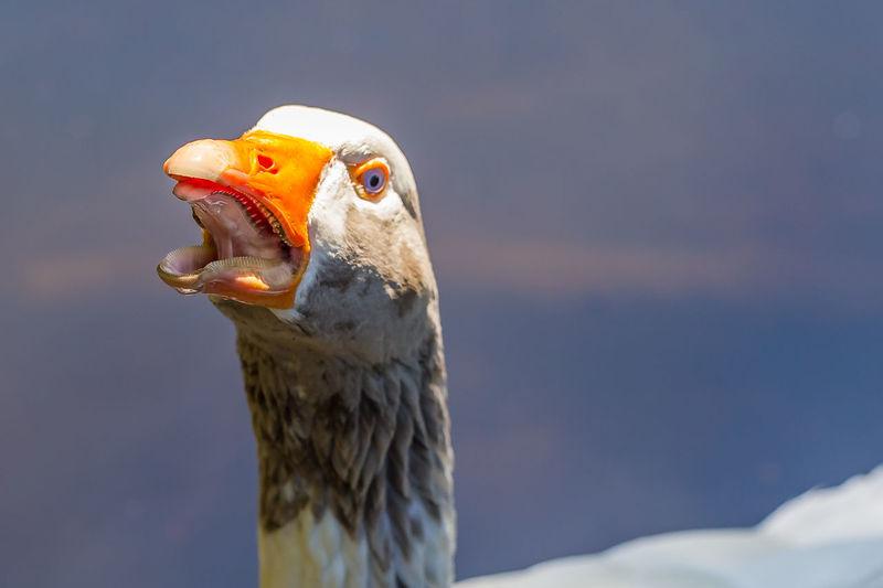 Hissing goose showing teeth Animal Themes Animal Wildlife Animals In The Wild Beak Bird Bird Of Prey Close-up Day Goose Goose Teeth Growth Hissing Goose Nature No People One Animal Outdoors