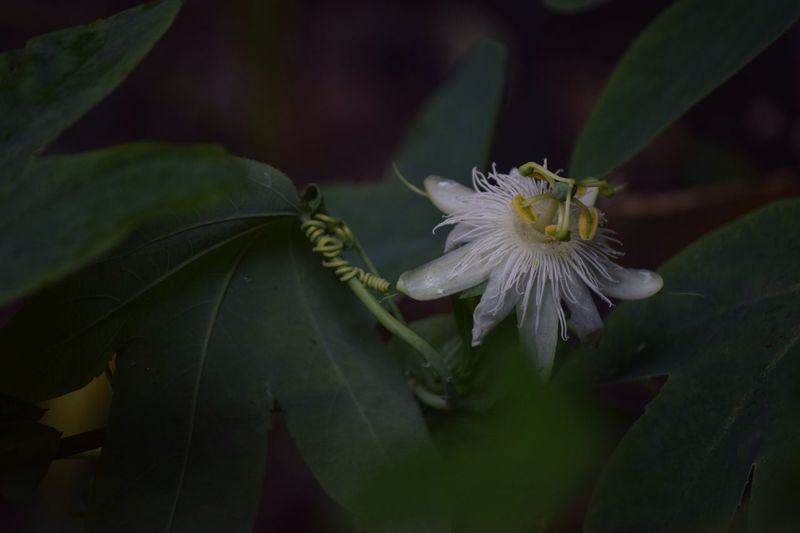 High Angle View Of Passion Flower Blooming Outdoors
