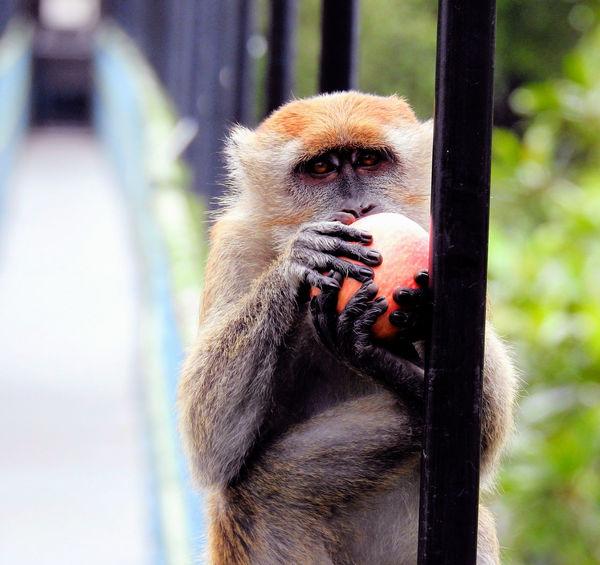 Animal Wildlife Close-up Looking At Camera Mammal Monkey Nature No People One Animal Outdoors Singapore Money