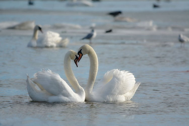 View of swan in water
