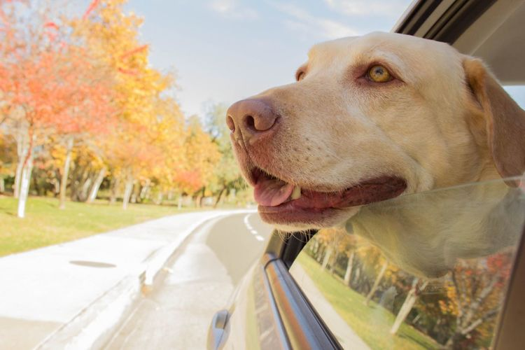 Fall Ride Dogs Dog Animals Pets Car Nature Dogs In Cars Fall Canon