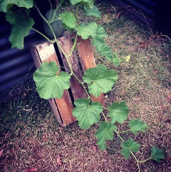 Homegrown Simplelife Gardening Rockmelon