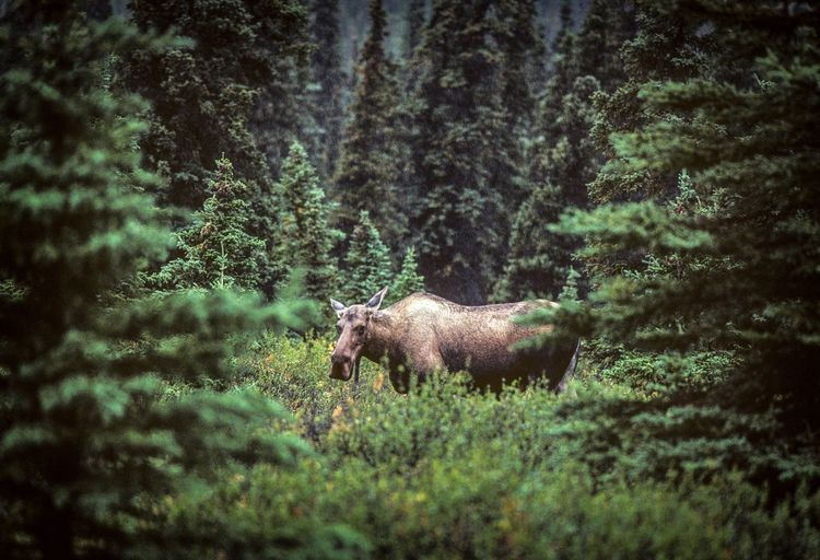 Moose standing in forest