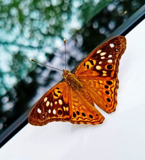Autum Messanger Perching Spread Wings Animal Markings Butterfly - Insect Insect Butterfly Animal Wing Full Length Animal Themes Close-up