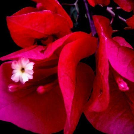 Buganbilias Colors Rojo 9spi9 instagramrd igersrepdom mexicolors igersveracruz mexigers flowers flores hermosa fotografía