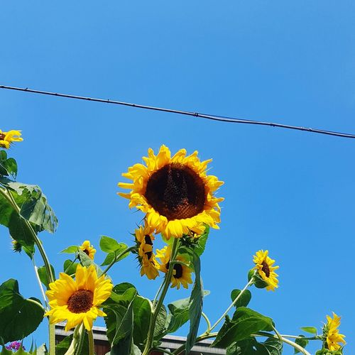 Flower Head Flower Clear Sky Blue Sky Close-up Plant Petal Blossom Sunflower In Bloom Plant Life Botany Blooming