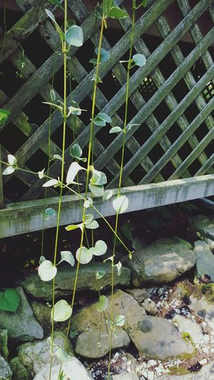 Vines New Hampshire Porch Gardening Flowers,Plants & Garden Leaves EyeEm Nature Lover plantography Greenery in Londonderry