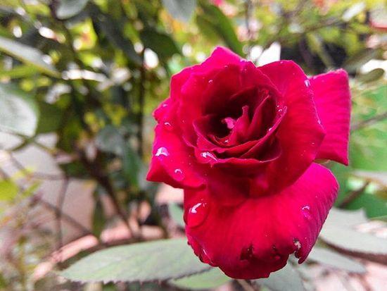 Bunga Mawar Rosé Tamantigagenerasi Balikpapan Lenovotography Balikpapanku Photooftheday Pocketphotography Lzybstrd