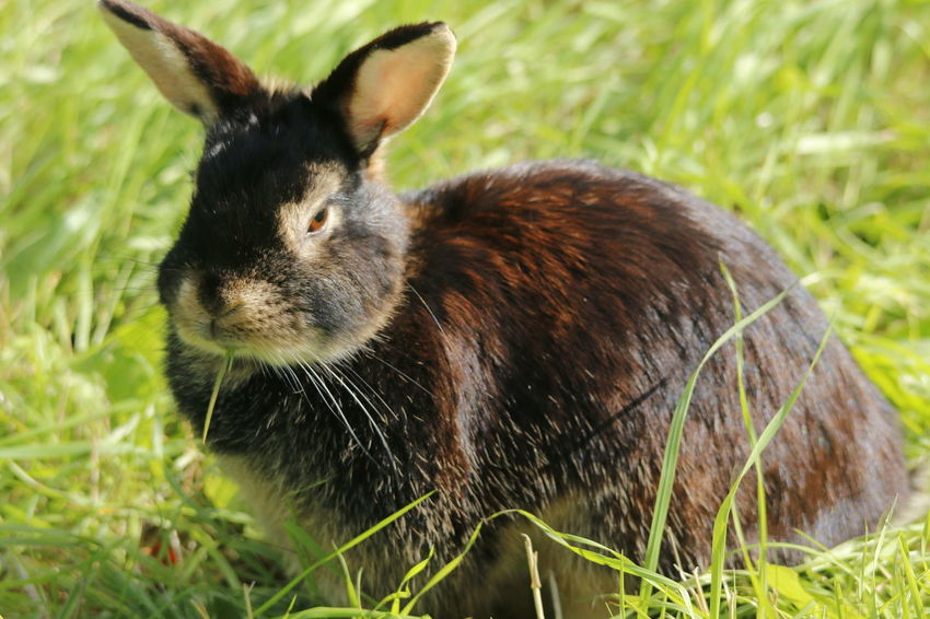 This cute little rabbit was walking in the grass when I saw it. Cute Pets Grass Lagomorpha Leporidae Oryctolagus Rabbit, Animal Animalia, Brown Brown Rabbit Chordata Close-up Cute Cute Animals Grass Mammal Mammalia Nature No People One Animal Oryctolagus Cuniculus Outdoors Pet
