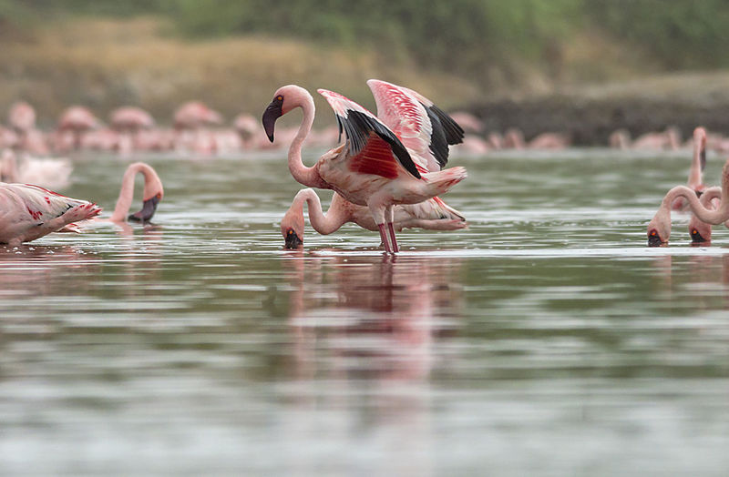 Balancing Technique Lesser Flamingo Nature Nikon Animal Wildlife Animals In The Wild Beauty In Nature Bird Day Flamingo Group Of Animals Lake Nature No People Outdoors Reflection Selective Focus Water Waterfront Wild Wings