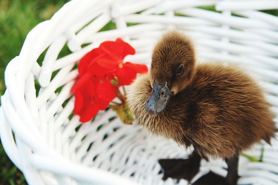 Cute ducky Quack Quack Easter Basket  Baby Ducks Bird Animal Themes One Animal Duckling Baby Animals Young Animal Easter Duck Red Flower White Basket Ducky Love