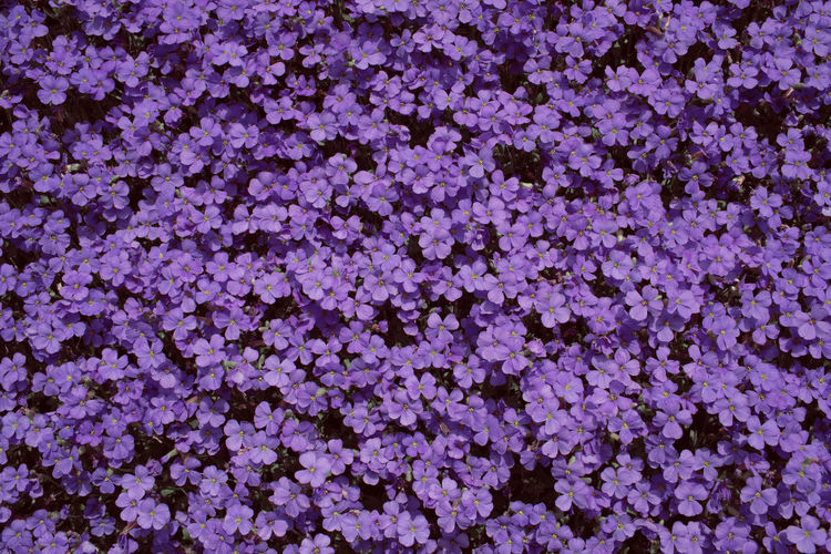 Wall of purple flowers Flower Flowering Plant Backgrounds Plant Full Frame Beauty In Nature Freshness Fragility Nature Vulnerability  Close-up No People Growth Pink Color Inflorescence Day Petal Abundance Outdoors Flower Head Flowerbed