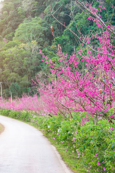 Cherry Blossoms Chiang Mai | Thailand Japan Japanese  Path Pink Romantic Sakura Beauty In Nature Blossom Flower Flowers Garden Growth Landscape Nature Outdoors Pink Flower Plant Road Romantic Sky Sweet The Way Forward Tree