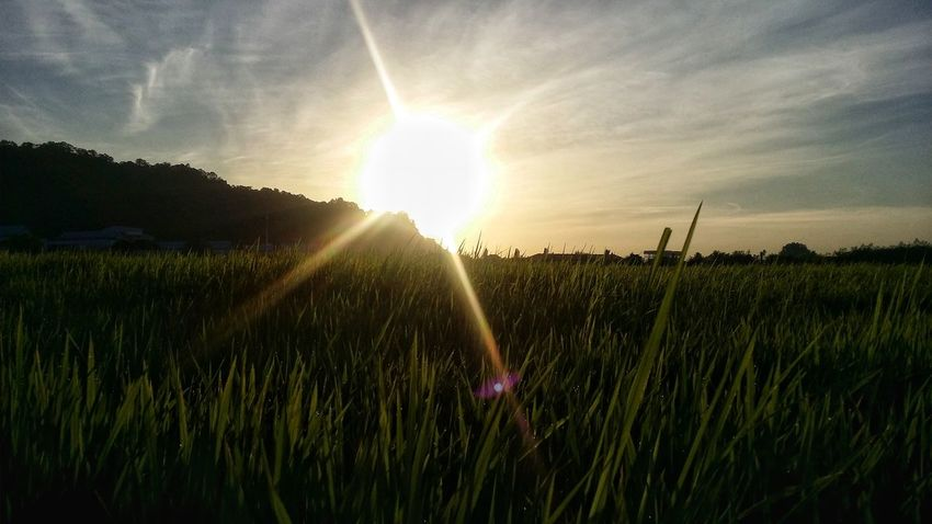 Growth Agriculture Field Rural Scene Crop  Nature Beauty In Nature Plant Flower Freshness No People Cereal Plant Landscape Sunset Sun Sunlight Outdoors Summer Day Spraying Paddy Field Scenics KluangMan Food Eyemphotography