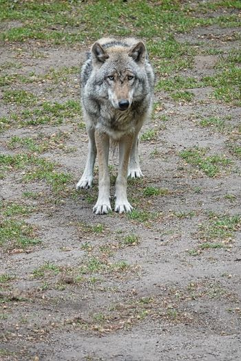 Lupo Wolf Animal Themes Animal Mammal One Animal Animals In The Wild Animal Wildlife Vertebrate Day No People Land Nature Field Looking At Camera Full Length Portrait Standing Plant