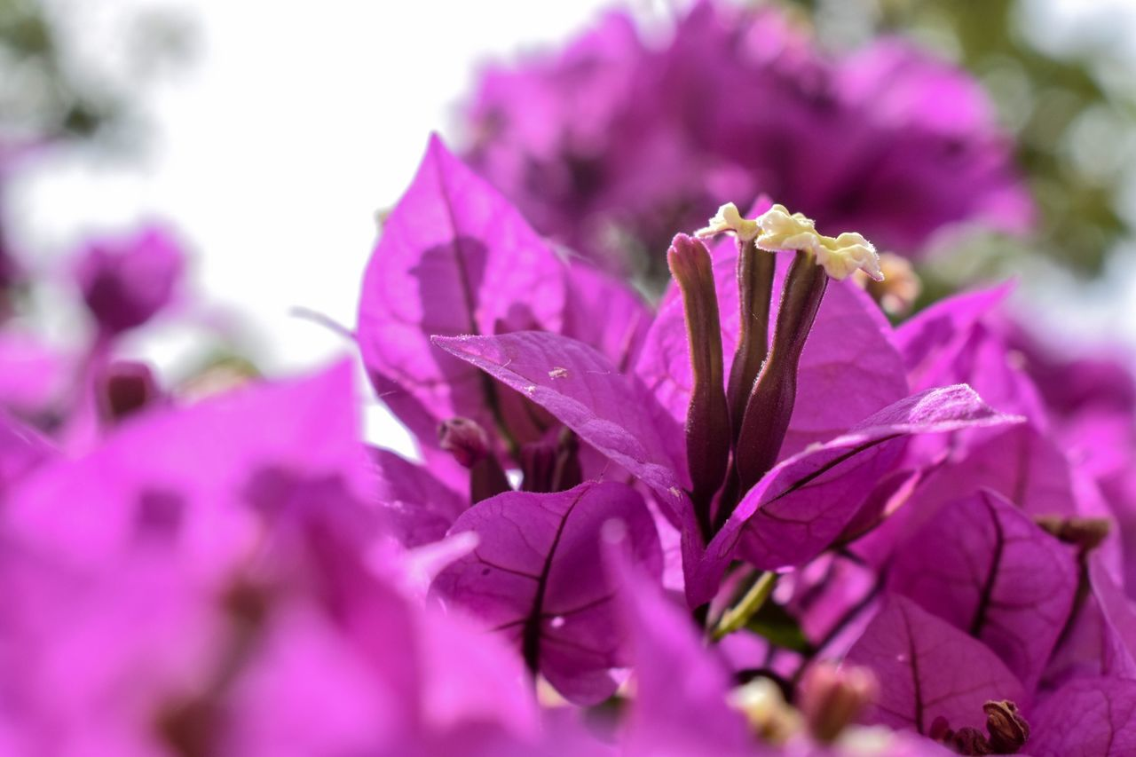 flower, fragility, petal, beauty in nature, nature, purple, freshness, selective focus, growth, no people, flower head, springtime, outdoors, plant, day, close-up, blooming
