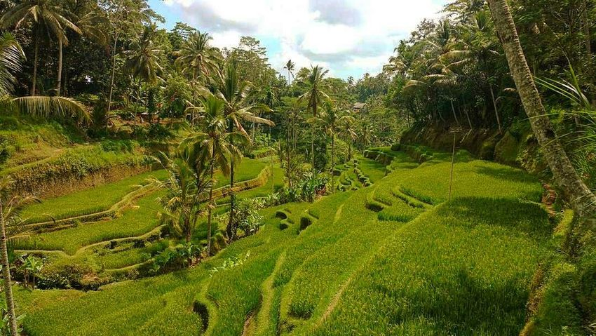 Rice field in Indonesia - Ubud EyeEm Diversity Growth Tree Nature Green Color Sky Landscape Tranquility Cloud - Sky Beauty In Nature Tranquil Scene Scenics No People Outdoors Rural Scene Grass Agriculture Day Rice Paddy Lush - Description Backpacking Travel Photography Travel Destinations Travel The Secret Spaces