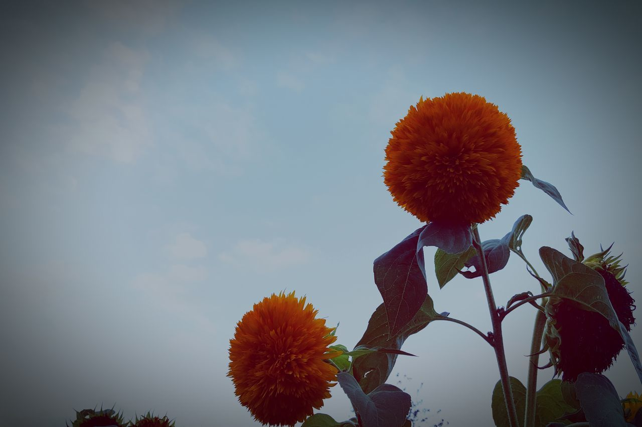 flower, fragility, nature, beauty in nature, growth, sky, freshness, flower head, plant, petal, outdoors, day, low angle view, no people, close-up, blooming