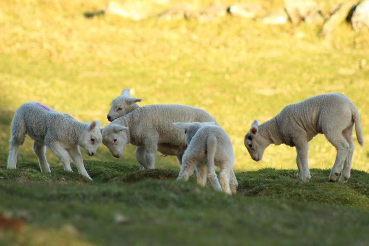 Lambs Sheep