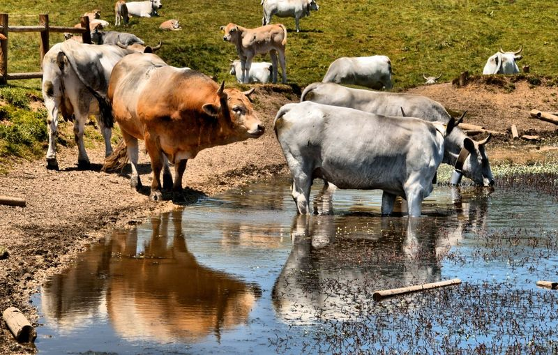 Wild cows drinking on the mountain lake Abruzzo Farm Gran Sasso D'Italia HDR Landscape_Collection Livestock Nature Agriculture Animal Animal Themes Animals Bull - Animal Cattle Cows Drinking Farmlife Group Of Animals Herbivorous Lake Landscape Livestock Mammal Pietranzoni Ranch Wild