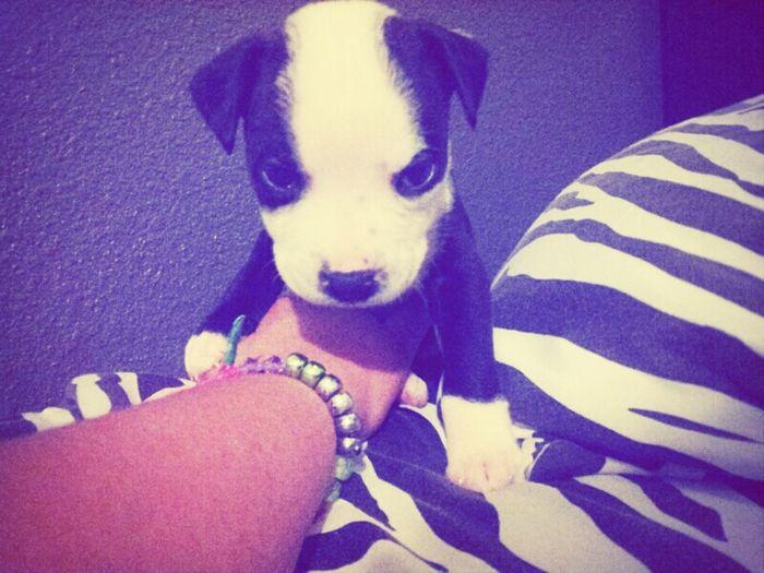 New member of the family! #pitbull#puppy# <3