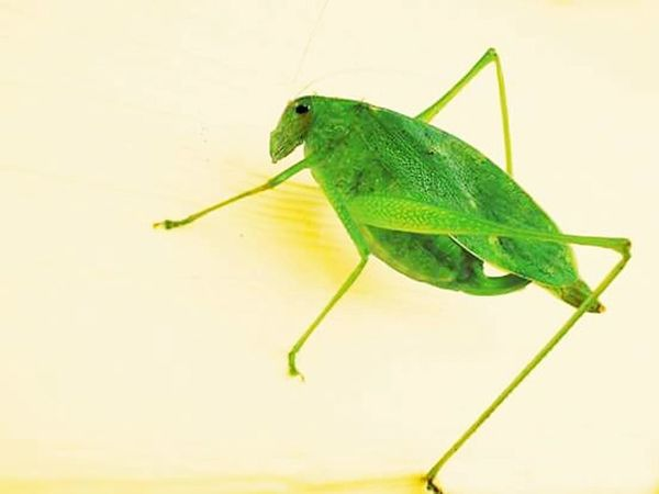 Leaf cutter,bugs,macro Insect Animal Wildlife One Animal Animals In The Wild Animal Themes Macro Green Color Close-up Nature No People Outdoors Leaf Day Full Length