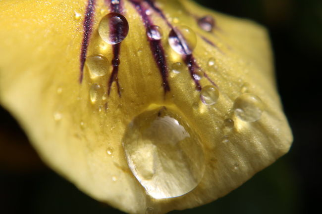 Close-up Drop Water Freshness Water Drop Yellow Macro Droplet Extreme Close-up Beauty In Nature Single Flower Focus On Foreground Fragility Flower