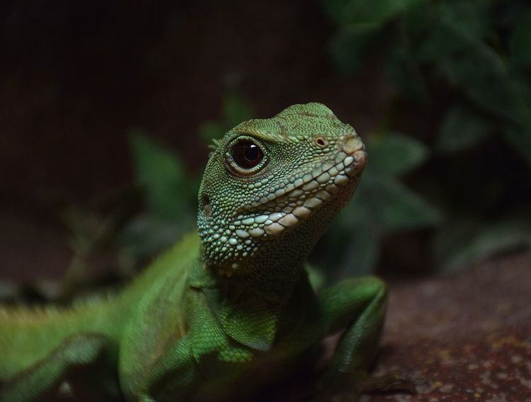 top model Lezard Prilaga Animal Wildlife Reptile Green Color Animals In The Wild Close-up One Animal No People Day Looking At Camera Animal Themes Iguana Nature