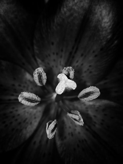 In the heart of a lily. Lily Lily Flower Lily Close Up Close Up Detail Lily Detail Lily In Close Up Flower Flower Collection Beauty In Nature Flower Close Up Flower Black And White Black And White Blackandwhite Black & White Black And White Photography