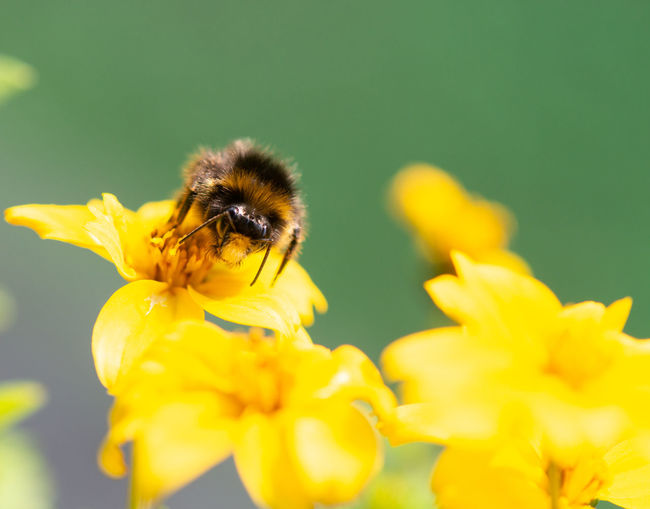 Bumble bee searching for food, macrophotography