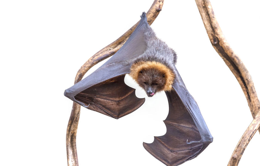 Animal Animal Body Part Animal Head  Bat Close-up Day Feather  Flying Fox Focus On Foreground Hungry Low Angle View Nature No People Outdoors Upside Down Beak Snout Animal Nose Animal Eye Animal Ear