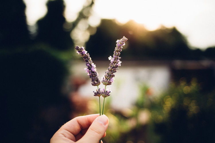Beauty In Nature Blooming Close-up Day EyeEm Best Shots EyeEm Selects EyeEmNewHere Flower Flower Head Focus On Foreground Fragility Freshness Growth Holding Human Body Part Human Hand Nature One Person Outdoors People Plant Purple Real People