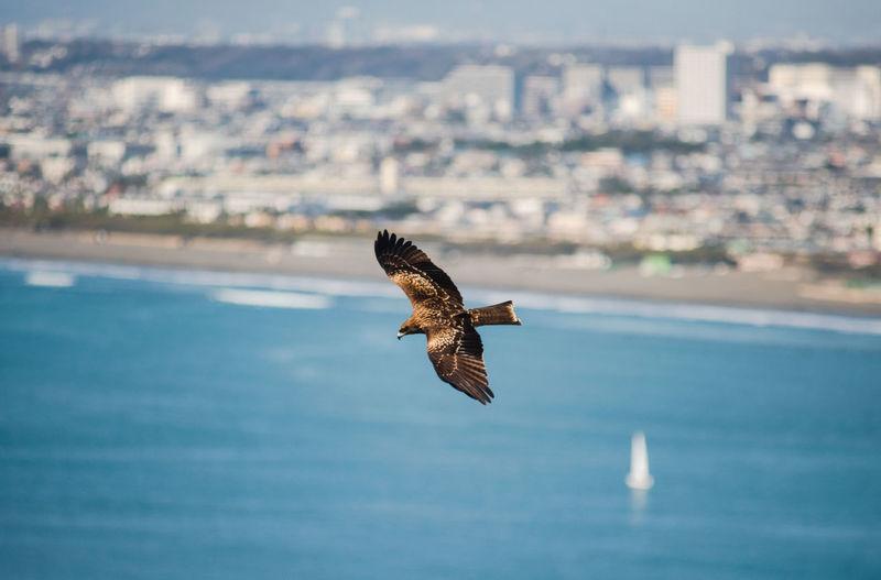 Japanese seahawk