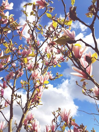 Magnolia against sky Beauty In Nature Springtime Tree Nature Sunlight Magnolia Magnolia Blossoms MagnoliaTree