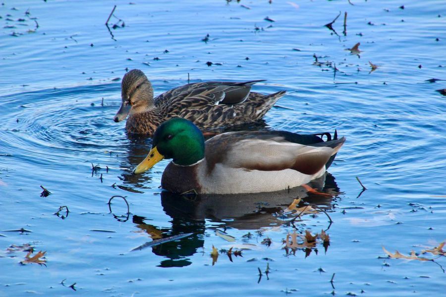 Two ducks up close mallards 🦆 swimming water reflections Birds of EyeEm beauty in nature Animal Themes Animals In The Wild Lake Nature No People