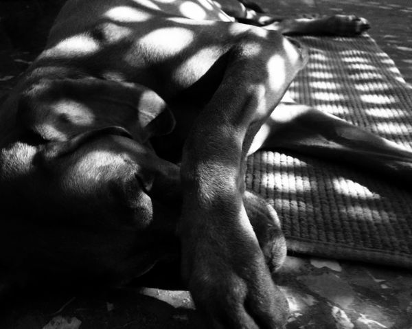 Animal Head  Monochrome Photography Dog Dog Love Dogs Of EyeEm Dogslife Geometric Shapes Good Morning Good Morning World! Hungarian Vizsla Light And Shadow Light Up Your Life Magyar Vizsla Morning Light Nana's Life Relaxation See The World Through My Eyes See What I See Sleeping Sleeping Dog Sleepy Sunlight Vizsla Blackandwhite Black And White Portrait The City Light